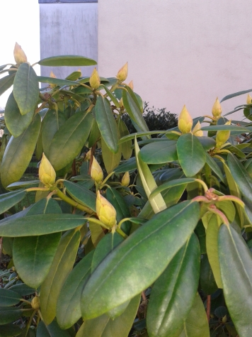 Hoffnung auf volle Blüte beim Rhododendron